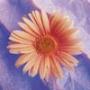 Крута автрака из категории Квіти #687