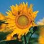 Крута ава из категории Квіти #702