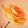Крута ава из категории Квіти #703