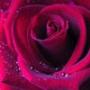 Бесплатная ава из категории Цветы #714