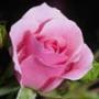 Крута автрака из категории Квіти #717
