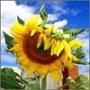 Бесплатная автрака из категории Цветы #731