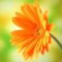 Безкоштовна ава из категории Квіти #751