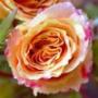 Оригинальная автрака из категории Цветы #796