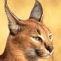 Оригінальна картинка для аватарки из категории Коти та кішки #3488