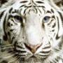 Безкоштовна ава из категории Коти та кішки #3501