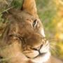 Безкоштовна картинка для аватарки из категории Коти та кішки #3527