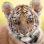 Гарна автрака из категории Коти та кішки #3534