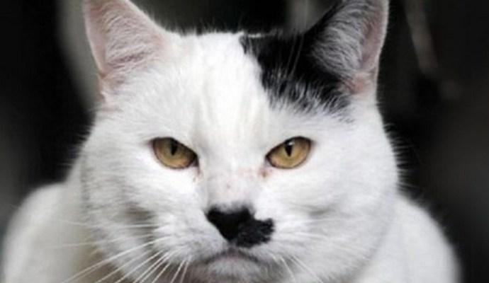 Ученые объяснили, почему рождаются коты, похожие на Гитлера