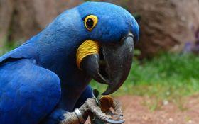 """У природі вимерли рідкісні блакитні папуги, які були головними героями мультфільму """"Ріо"""""""