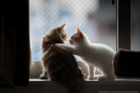 Котенок Ханна - подруга Дейзи (12 фото) (4)