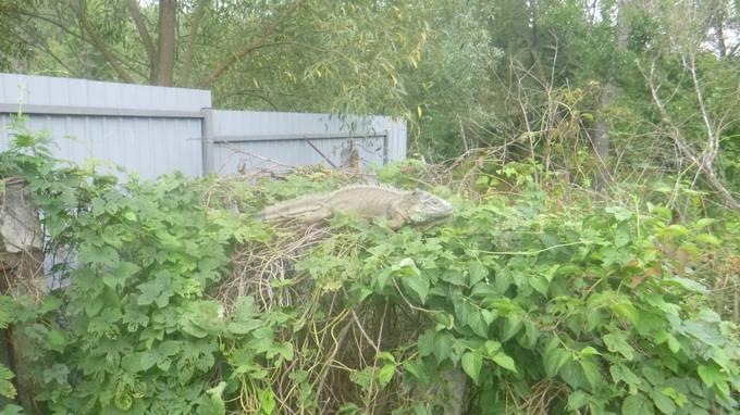 """На Київщині врятували """"динозавра"""", що живиться кабачками: з'явилися фото (1)"""