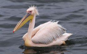 10 интересных фактов о розовом пеликане - символе нынешнего Часа Земли в Украине
