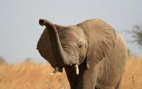 Загадкова масова загибель слонів - вчені назвали причини