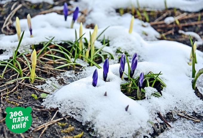 В Киеве из-под снега показались первые подснежники: опубликованы яркие фото (3)