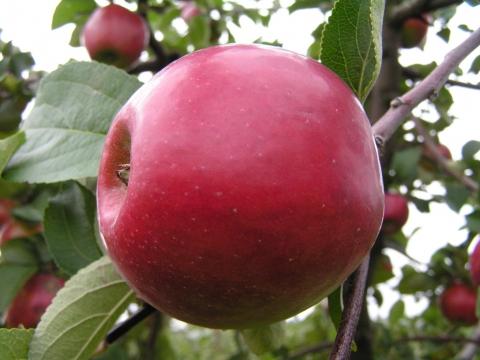 анис фото яблоко