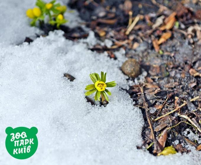 В Киеве из-под снега показались первые подснежники: опубликованы яркие фото (1)