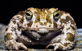 Охотник из США поймал огромную лягушку весом 6 килограммов: появилось фото