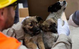 Сотни чернобыльских щенков отправят в США: стала известна причина