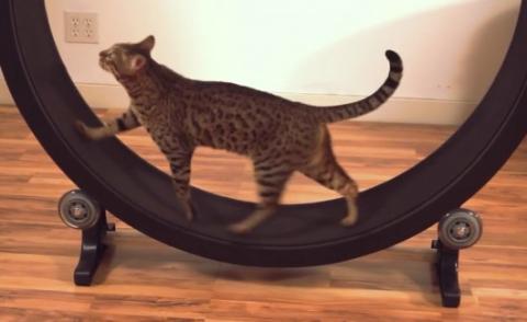 Куплю беговое колесо кот