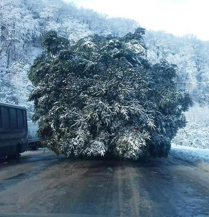 Главная елка страны уже едет в Киев: опубликованы фото (3)