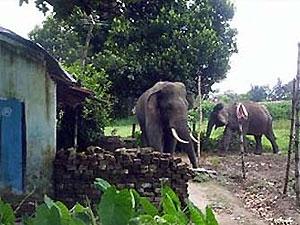 В Индии застрелили слона-убийцу