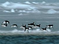 В День дурака телекомпания BBC расскажет британцам о летающих пингвинах (текст + видео)