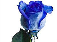 Первые голубые розы можно будет купить уже в 2009 году