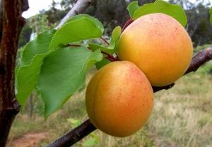Из-за заморозков Украина останется без фруктов и ягод
