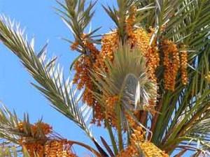 Ученые вырастили пальму из 2000-летней косточки