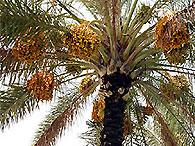 Из семени Масады возродят израильские финики