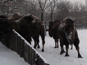 На украино-российской границе мерзнут 20 верблюдов