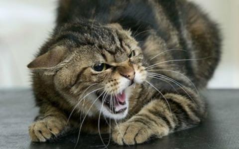 Скажений кіт покусав п'ятьох людей у Кіровограді