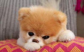 """В США умер """"самый симпатичный пес в мире"""""""