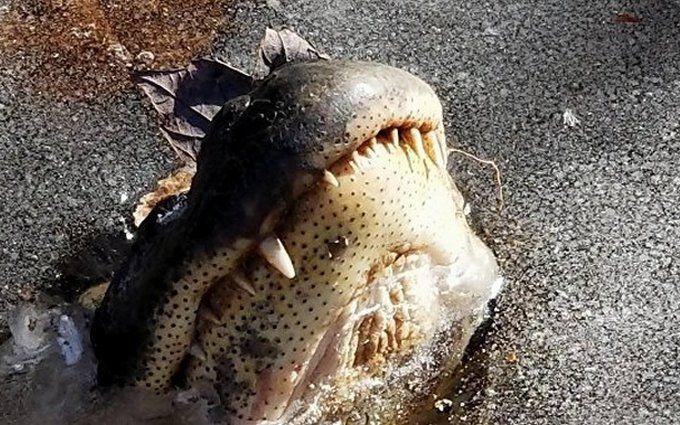 Аномальні морози в США: з'явилися відео зі вмерзлими в лід крокодилами