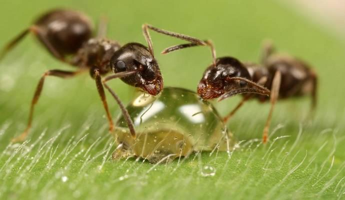 Во время ходьбы у муравьев «отключается» мозг