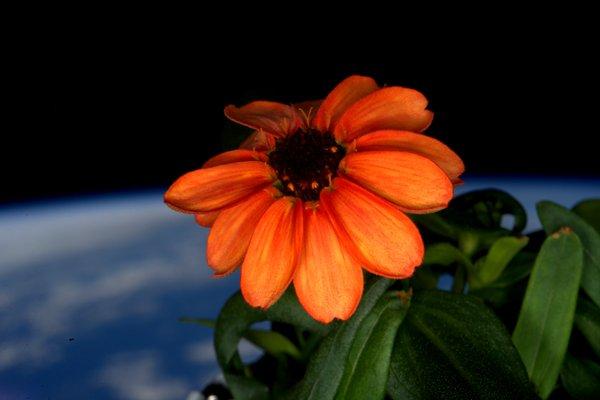 Вперше на МКС розпустилася квітка
