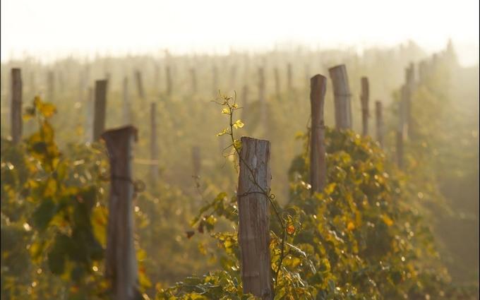 Оккупанты распродали виноградники Массандры в Крыму