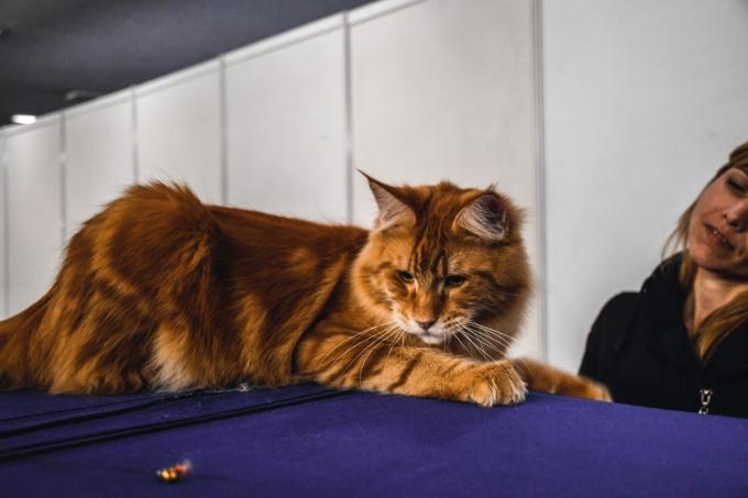 Битва гигантов: в Киеве выбрали самого большого кота (3)