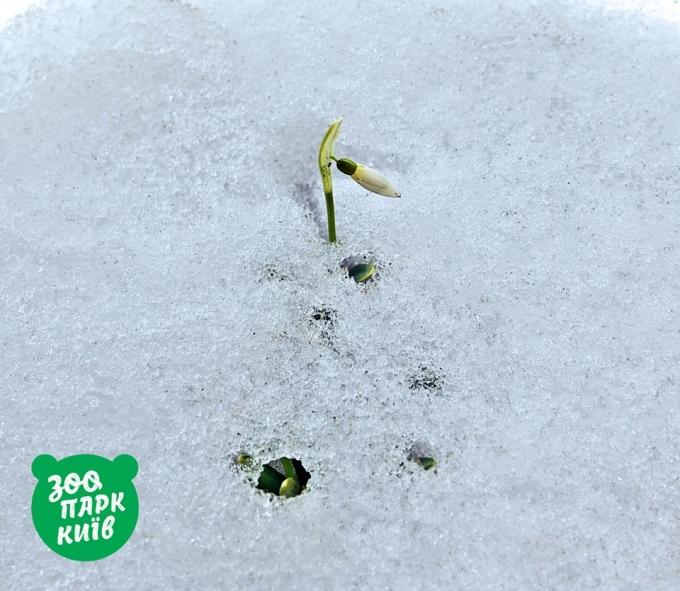 В Киеве из-под снега показались первые подснежники: опубликованы яркие фото (2)