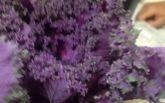 Незвичайні фіолетові квіти: американець подарував своїй дівчині букет салату