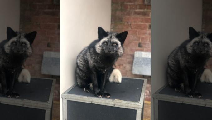 Її просто потрібно побачити: у Британії знайшли рідкісну сріблясту лисицю (1)