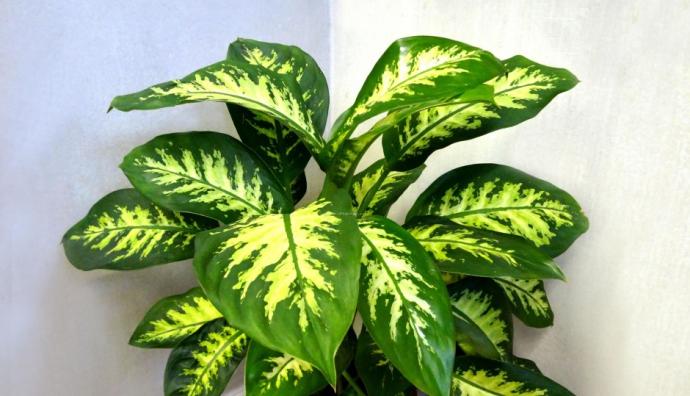 Комнатные растения, которые могут навредить ребенку (2)
