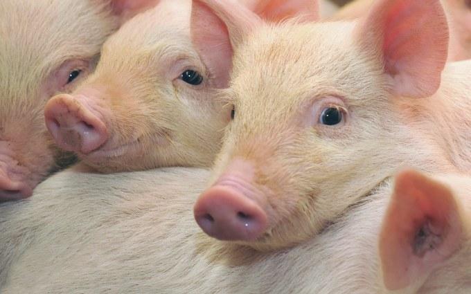 У главаря ДНР похвастались успехом с молодыми свинками: опубликовано видео