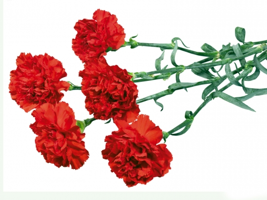 ГВОЗДИКА - gardenia.ru