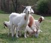 Что любят козы