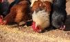 Когда кормить кур