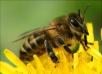 Не допускайте заражения пчел