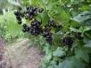 Плодоягодные кустарники: смородина