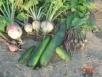 Овощные растения влаголюбивы